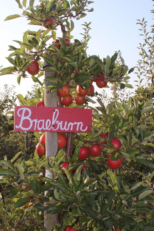 Apfelernte im Hamburger Altem Land: der perfekte Familienausflug
