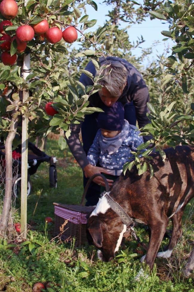 Apfelernte mit Kindern Altes Land: Hamburg im Herbst