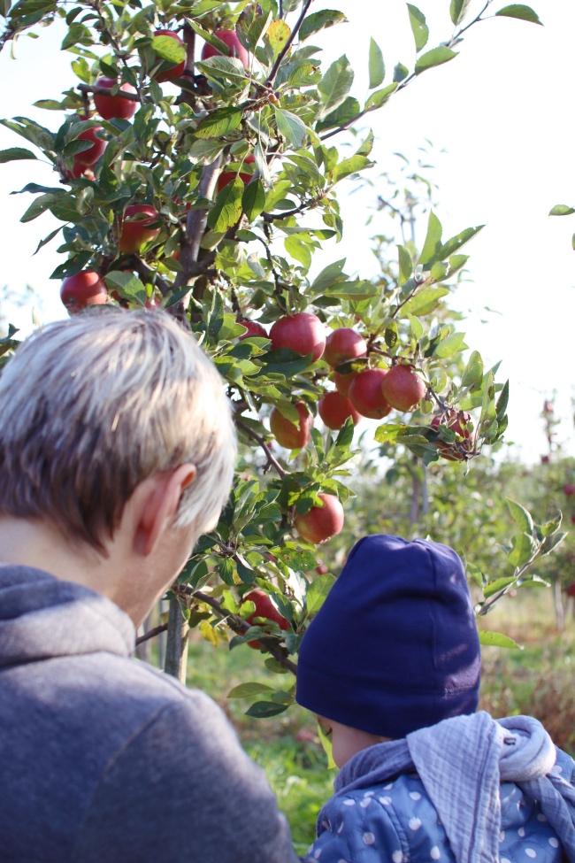 Hamburg für Familien: Apfelernte Altes Land